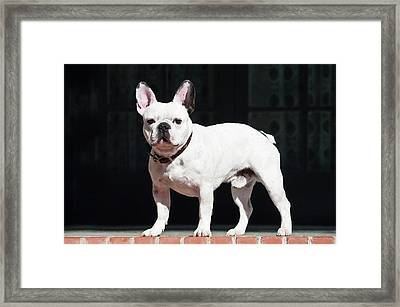 A French Bulldog Standing On A Red Framed Print