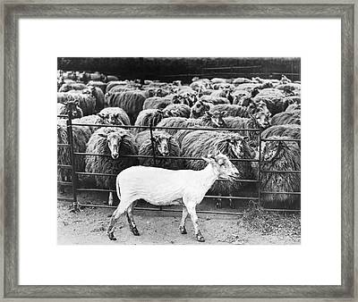 A Freshly Sheared Sheep Framed Print by Underwood Archives