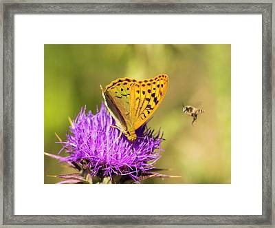 A Fritillary Butterfly Framed Print by Ashley Cooper