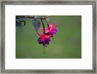A Fuchsia Framed Print by Alex King