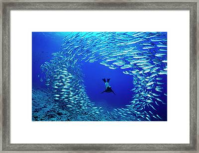 A Galapagos Sea Lion, Zalophus Framed Print