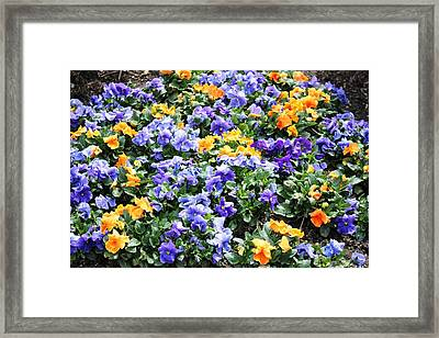 Framed Print featuring the photograph A Garden Of Lovely Little Faces by Judy Palkimas