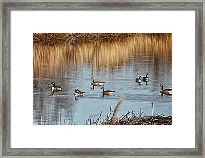 A Geese Gathering Framed Print by Bill Kesler