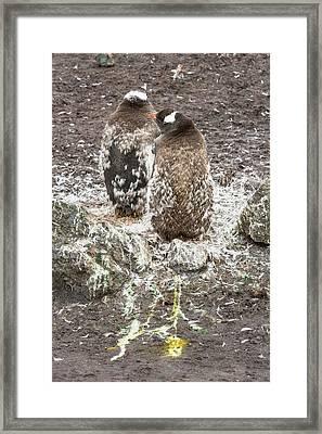 A Gentoo Penguin Moulting Framed Print