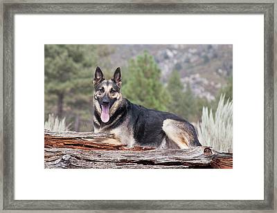 A German Shepherd Lying On A Fallen Framed Print