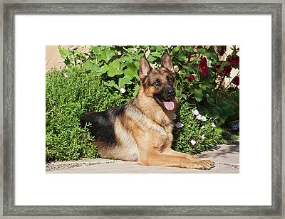 A German Shepherd Lying On A Garden Framed Print