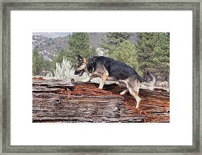 A German Shepherd Walking Up Onto Framed Print by Zandria Muench Beraldo