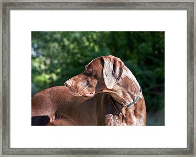 A German Shorthaired Pointer Looking Framed Print
