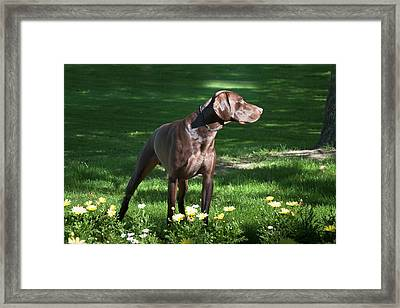 A German Shorthaired Pointer Standing Framed Print by Zandria Muench Beraldo