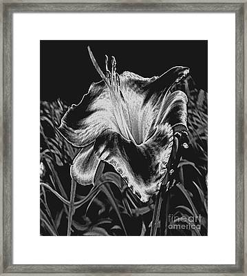 A Ghostly Daylily Bloom In Original Black And White Framed Print by ImagesAsArt Photos And Graphics