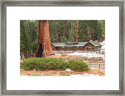 A Giant Among Trees Framed Print