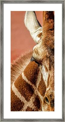 A Giraffe Framed Print