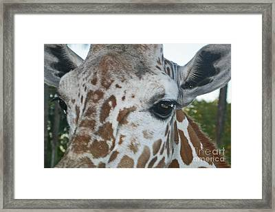 A Giraffe In Close Up Framed Print