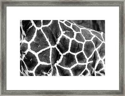 Framed Print featuring the photograph A Giraffe's Maze by Steven Santamour
