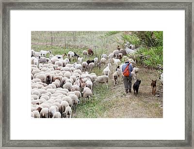 A Goat Herd Framed Print by Ashley Cooper