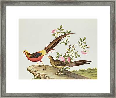 A Golden Pheasant Framed Print by Chinese School