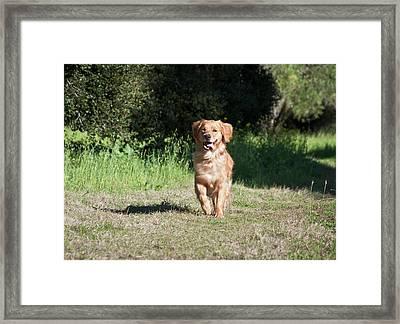 A Golden Retriever Running Framed Print by Zandria Muench Beraldo