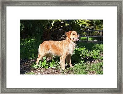 A Golden Retriever Standing In A Park Framed Print by Zandria Muench Beraldo