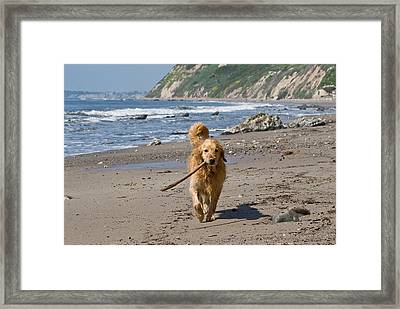 A Golden Retriever Walking With A Stick Framed Print
