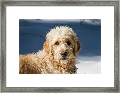 A Goldendoodle Lying In The Snow Bathed Framed Print by Zandria Muench Beraldo