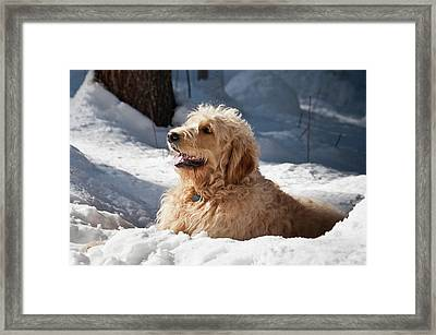 A Goldendoodle Lying In The Snow Framed Print
