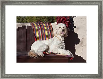 A Goldendoodle Lying On A Garden Bench Framed Print