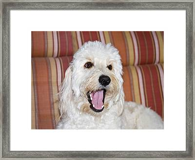 A Goldendoodle Lying On A Lawn Chair Framed Print