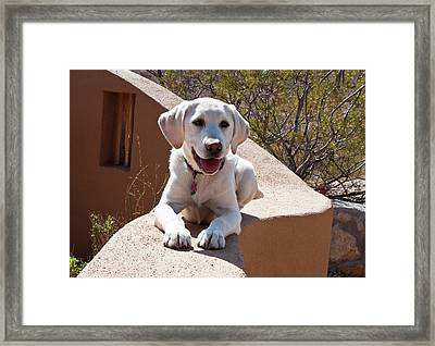 A Goldendoodle Puppy Lying On An Adobe Framed Print