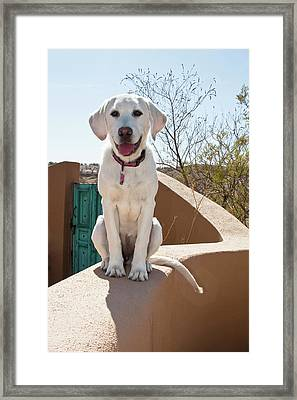 A Goldendoodle Puppy Sitting On An Framed Print by Zandria Muench Beraldo