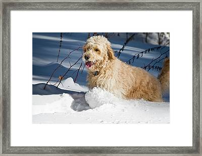 A Goldendoodle Running Through The Snow Framed Print