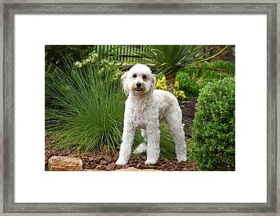 A Goldendoodle Standing In A Garden Framed Print