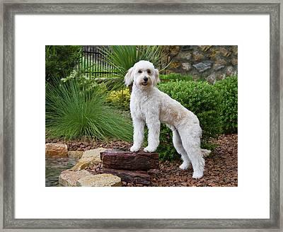 A Goldendoodle Standing On A Rock Framed Print