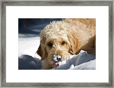 A Goldendoodle With Snow On It's Nose Framed Print
