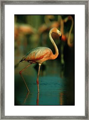 A Graceful Caribbean Flamingo Walks Framed Print by Steve Winter
