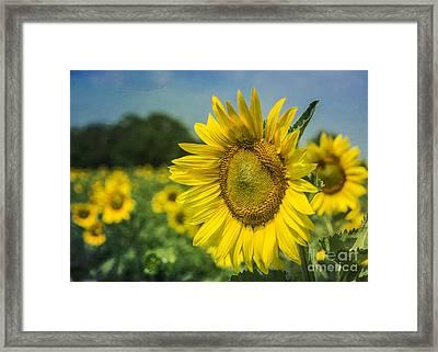 A Grand Sunflower Framed Print