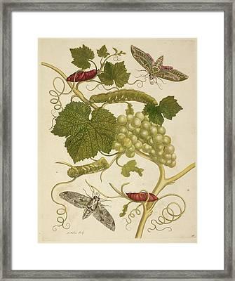 A Grape Vine Framed Print by British Library