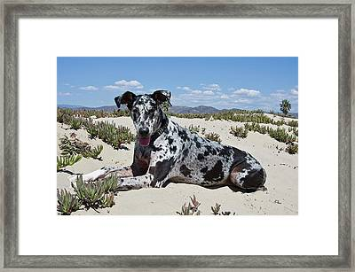 A Great Dane Lying In The Sand Framed Print by Zandria Muench Beraldo