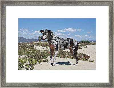 A Great Dane Standing In Sand Framed Print by Zandria Muench Beraldo