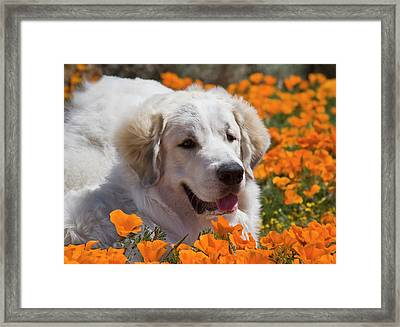 A Great Pyrenees Lying In A Field Framed Print by Zandria Muench Beraldo