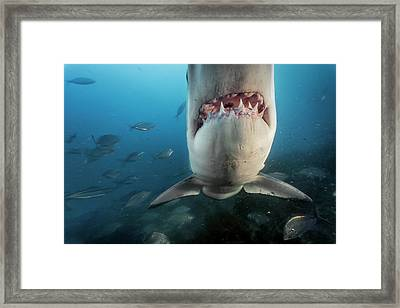 A Great White Shark Investigates Framed Print