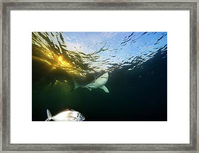 A Great White Shark Swims In Waters Framed Print