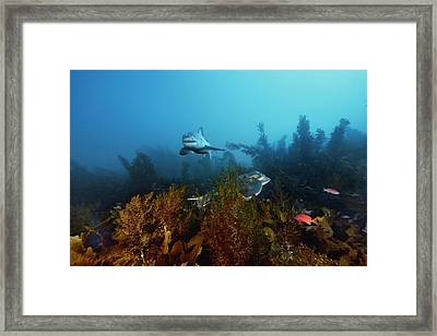 A Great White Shark Swims Past A Ray Framed Print