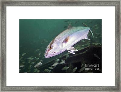 A Greater Amberjack Swimming Framed Print by Michael Wood
