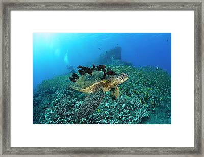 A Green Sea Turtlec  Chelonia Mydas Framed Print by Dave Fleetham