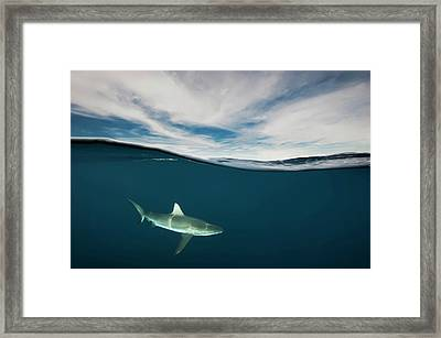 A Grey Reef Shark Swims In Kimbe Bay Framed Print