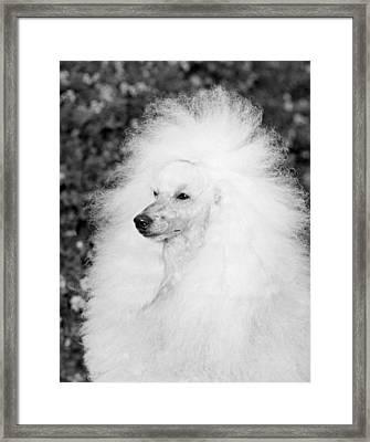 A Groomed Standard Poodle Framed Print by Underwood Archives