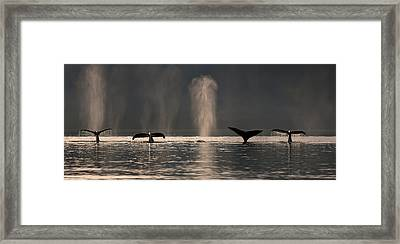 A Group Of Humpback Whales Dive Down As Framed Print