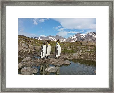 A Group Of Penguins Standing Together Framed Print