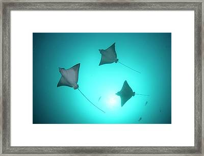 A Group Of Spotted Eagle Rays Framed Print by Scubazoo
