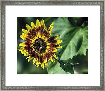 A Growing Sunflower Framed Print